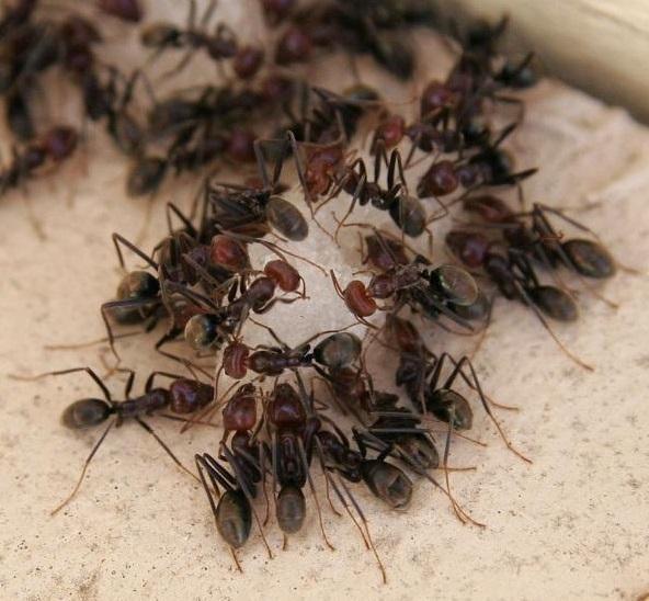 Травить муравьев